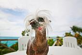 Chinese crested dog, bahamas