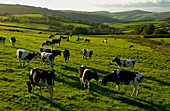 Cattle Grazing In North Exmoor, Devon, Uk