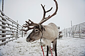 Reindeer With Hitch At Ounaskievari Reindeer Farm, Levi, Lapland, Finland