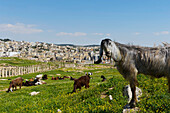 Inquisitive Goat In Gerasa, The Ancient City Of Jerash, The Decapolis City, Jordan, Middle East