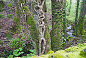 Ancient Forests Along The South West Coast Path Near Lynmouth, Exmoor, United Kingdom
