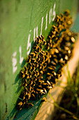 Bees clustered together on the outside of the hive entrance, ierissos halkidiki greece