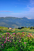Alpine roses in blossom and alpine hut, Feldalpenhorn, Feldalphorn, Wildschoenau, Kitzbuehel range, Tyrol, Austria