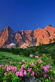 Alpine roses in blossom with Laliderer face in alpenglow, Laliderer Waende, Karwendel range, Tyrol, Austria
