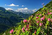 Alpine roses in blossom in front of Steinernes Meer range, view from Jenner, Jenner, Berchtesgaden range, National Park Berchtesgaden, Berchtesgaden, Upper Bavaria, Bavaria, Germany