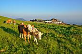 Cows in front of Steinlingalm alpine hut, Kampenwand, Chiemgau range, Chiemgau, Upper Bavaria, Bavaria, Germany