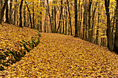 Forest trail covered with yellow beech leaves, Krofdorfer Forst, Central Hesse, Hesse, Germany