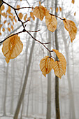 Brown autumn beech leaves on delicate branches in a beech forest in winter with unsharp beeches in fog in the background, Central Hesse, Germany