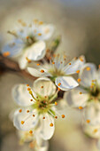 Blossoming whitethorn, genus Crataegus, with many small flowers in full blossom, mostly blurred with partial sharpness, macro close up, Hesse, Germany