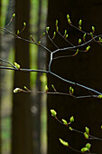 Young beech leaves on delicate branches in a beech forest, Central Hesse, Germany