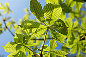 Young fresh chestnut tree leaves against a blue sky, Hesse, Germany