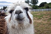 Wet look: Portrait of a llama with wet fur, near Puerto Montt, Los Lagos, Patagonia, Chile