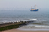 Fishing boat with gulls off Norderney Island, Nationalpark, North Sea, East Frisian Islands, East Frisia, Lower Saxony, Germany, Europe