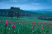 Hügellandschaft mit Tulpen im Orciatal, San Quirico d Orcia, Toskana, Italien