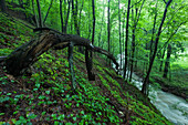 River Saubach running through a mixed deciduous forest in spring, Klipphausen, Saxony, Germany