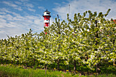 Blossoming trees in front of a lighthouse, near Jork,  Altes Land, Lower Saxony, Germany