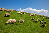 Sheep grazing on the dike, near Steinkirchen, Altes Land, Lower Saxony, Germany