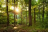 Morning sun in a wood, Eifelsteig hiking trail, Nationalpark Eifel, Eifel, North Rhine-Westphalia, Germany