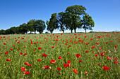 Poppies in a field, Ruegen island, Baltic Sea, Mecklenburg Western-Pomerania, Germany