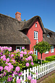 Rhododendron in front of a frisian house with thatched roof, Sueddorf, Amrum island, North Sea, North Friesland, Schleswig-Holstein, Germany