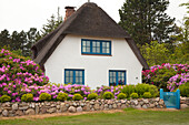 Rhododendron in front of a frisian house with thatched roof, Nebel, Amrum island, North Sea, North Friesland, Schleswig-Holstein, Germany
