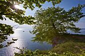 Buche am Abgrund, Kreideküste, Nationalpark Jasmzund, Insel Rügen, Ostseeküste, Mecklenburg-Vorpommern, Deutschland