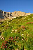 Blooming alpine roses in valley of Hoellental, Zugspitze, Wetterstein mountain range, Upper Bavaria, Bavaria, Germany