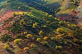 PYRENEAN OAK - ROBLE REBOLLO Quercus pyrenaica, Ambroz valley, Cáceres, Extremadura, Spain, Europe