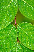 Fly-trap dogbane, Spreading dogbane Apocynum androsaemifolium Leaves with raindrops, Greater Sudbury, Ontario, Canada