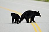 American Black bear (Ursus americanus) Sow and cubs crossing park road, Banff National Park, Alberta, Canada.