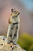 Golden mantled ground squirrel (Spermophilus lateralis), Jasper National Park, Alberta, Canada.