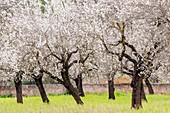 almond blossom, Esglaieta, Esporlas, mallorca, Balearic Islands, Spain, Europe