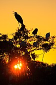 Herons and Egrets at the Venice Heronry Rookery in Florida USA in the evening with the sun setting behind the birds and trees