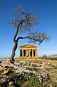 Temple of Concordia with an Almond tree in the foreground, Valley of the Temples, Agrigento, Sicily, Italy