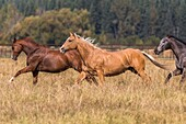 Horses at a horse round up, Montana, USA