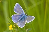 Common Blue, Polyommatus icarus back  Blue wings of the male Common Blue  Upper wings form above