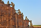 India, Rajasthan, Ranthambhore National Park, Ranthambhore fort, Gray langur monkeys.