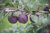 Apple orchard, Jefferson Maryland USA