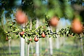 Fruit tree on a pear orchard in Rancagua, Chile.