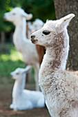 Alpaca (Vicugna pacos) on breeding farm, Temuco Chile.