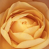 Delicious close up of an orange rose opening petals, tight center