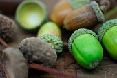beautiful selection of acorns, fresh green, in caps, empty caps