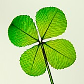 a traditional good luck symbol the four leaf clover