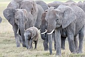 African bush elephant (Loxodonta africana), family group or herd moving in the Amboseli National Park. Africa, East Africa, Kenya, December.