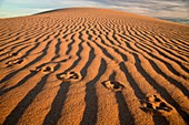 animal track on the Algodones Dunes or Imperial Sand Dunes, Imperial County, California, United States of America, USA