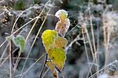 Hoarfrost-covered birch leaves. Vaesternorrland, Sweden, Scandinavia, Europe