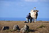 Farmer milking cow, Between Sao Pedro and Langoinhas, Island of Santa Maria, Azores, Portugal