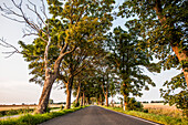 Allee on the Island of Ruegen, Mecklenburg-Western Pomerania, Germany
