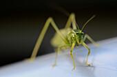 Green Grasshopper, Selective Focus, Close-Up