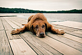 Rhodesian Ridgeback Dog Laying on Dock